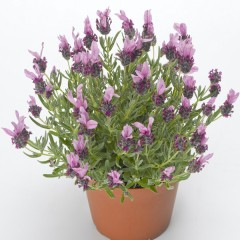 Лаванда Кастилиано розовая /100 семян/ *Syngenta*