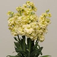 Матиола Кетс желтая /200 семян/ *Pan American*