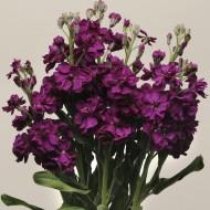 Матиола Кетс пурпурная /200 семян/ *Pan American*