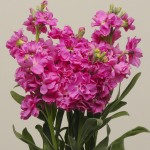 Матиола Кетс розовая /200 семян/ *Pan American*