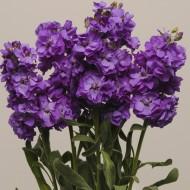 Матиола Кетс синяя /200 семян/ *Pan American*