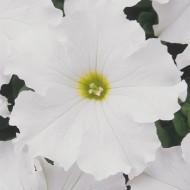 Петуния Дримс F1 белая /1.000 семян/ *Pan American*