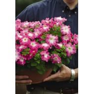 Петуния Дримс F1 розовое утро /1.000 семян/ *Pan American*
