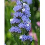 Кермек QIS голубой /1.000 семян/ *Pan American*