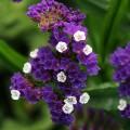 Кермек QIS пурпурный /1.000 семян/ *Pan American*