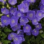 Колокольчик Жемчужина темно-синий /100 семян/ *Benary*
