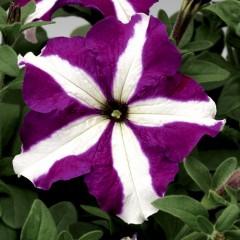 Петуния Тритуния F1 пурпурная звезда /1.000 семян/ *Syngenta*