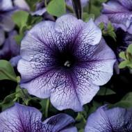 Петуния Тритуния F1 синяя с прожилками /1.000 семян/ *Syngenta*