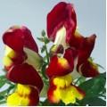 Львиный зев Снеппи F1 красно-желтый /100 шт/ *Hem Genetics*