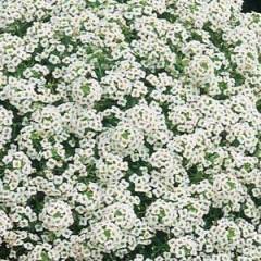 Алиссум Снежинка /100 семян/ *Pan American*