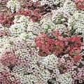 Алиссум Айс Боннет смесь пастельная /1.000 семян/ *Pan American*