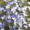 Алиссум Истэ Боннет темно-розовый /1.000 семян/ *Pan American*