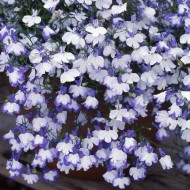 Алиссум Истэ Боннет белый /1.000 семян/ *Pan American*