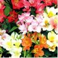 Альстремерия Перуанская красавица смесь /100 семян/ *Hem Zaden*