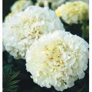 Бархатцы африканские Эскимо белые /1.000 семян/ *Hem Zaden*