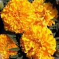 Бархатцы Эквинокс оранжевые /5 грамм/ *Hem Zaden*