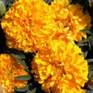 Бархатцы африканские Эквинокс оранжевые /5 грамм/ *Hem Zaden*