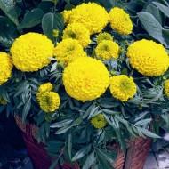 Бархатцы Антигуа F1 золотистые /100 семян (драже)/ *Syngenta Seeds*