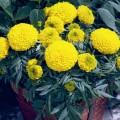 Бархатцы африканские Антигуа F1 золотистые /1.000 семян (драже)/ *Syngenta Seeds*