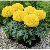 Бархатцы африканские Антигуа F1 лимонные /100 семян (драже)/ *Syngenta Seeds*