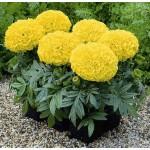 Бархатцы африканские Антигуа F1 лимонные /100 семян/ *Syngenta Seeds*