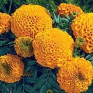 Бархатцы африканские Антигуа F1 оранжевые /100 семян (драже)/ *Syngenta Seeds*