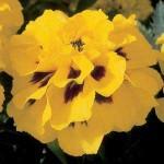 Бархатцы французские Аврора Желтое пламя /1.000 семян/ *Pan American*