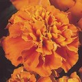 Бархатцы французские Жани темно-оранжевые /1.000 семян/ *Pan American*