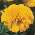 Бархатцы французские Жани лимонные /1.000 семян/ *Pan American*