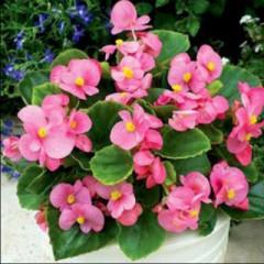 Бегония Бада Бинг F1 розовая /200 семян (драже)/ *Syngenta Seeds*