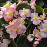 Бегония Бада Бинг F1 розовая биколор /200 семян (драже)/ *Syngenta Seeds*