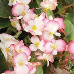 Бегония Волюмия F1 розовая биколор /100 семян (драже)/ *Syngenta Seeds*