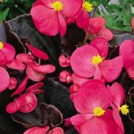 Бегония Бада Бум F1 розовая /200 семян (драже)/ *Syngenta Seeds*