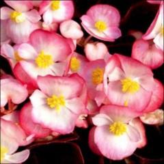 Бегония Бада Бум F1 розовая биколор /200 семян (драже)/ *Syngenta Seeds*