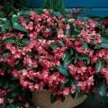 Бегония Дреген Винг розовая /50 семян/ *Pan American*