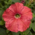 Петуния Пикобелла F1 лососевая /200 семян/ *Syngenta Seeds*