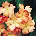 Вербена Обсешен абрикосовая /100 семян/ *Syngenta Seeds*
