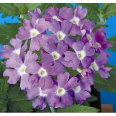 Вербена Обсешен синяя с глазком /100 семян/ *Syngenta Seeds*