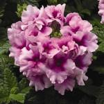 Вербена Тускани F1 орхид фрост /100 семян/ *Syngenta Seeds*