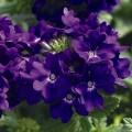 Вербена Тускани F1 синяя /100 семян/ *Syngenta Seeds*