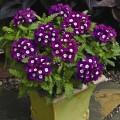 Вербена Тускани F1 фиолетовая с глазком /100 семян/ *Syngenta Seeds*