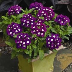 Вербена Тускани фиолетовая с глазком /100 семян/ *Syngenta Seeds*