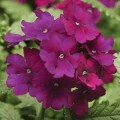 Вербена Кварц XP пурпурная /100 семян/ *Pan American*