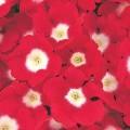 Вербена Кварц XP красная с глазком /100 семян/ *Pan American*