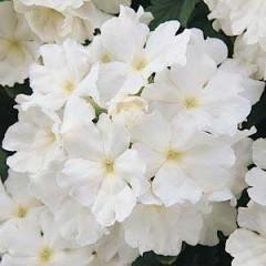 Вербена Кварц XP белая /100 семян/ *Pan American*