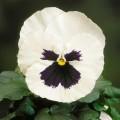 Виола витроока Целло белая с глазком /100 семян/ *Hem Genetics*