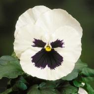 Виола Целло белая с глазком /100 семян/ *Hem Genetics*