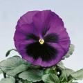 Виола Целло голубая с глазком /100 семян/ *Hem Genetics*