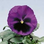 Виола витроока Целло голубая с глазком /100 семян/ *Hem Genetics*