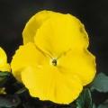 Виола витроока Целло желтая /100 семян/ *Hem Genetics*